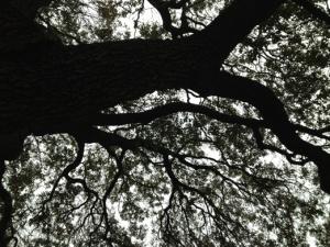 Austin Oak